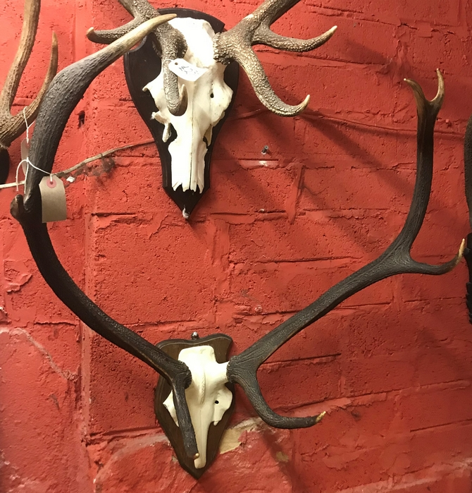 Large 7 point Antlers on skull frontlet.