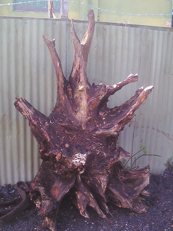Unique Oak Tree Root SOLD
